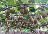 陕西省西安市周至县猕猴桃8月生长图片