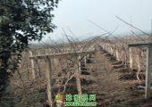 陕西省楼观镇猕猴桃家庭农场图片