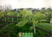 猕猴桃开春第一道肥,萌芽促根为主