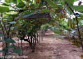 周至猕猴桃家庭农场猕猴桃蔬果忙