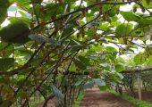 周至猕猴桃好吃的猕猴桃怎么种植的100期去看看6月