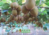2020年7月周至猕猴桃家庭农场猕猴桃图片,果农奉献