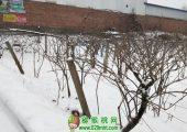 2018周至猕猴桃产地降雪图片