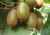 陕西最美猕猴桃奇异果图片