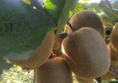 地里面实拍,新鲜猕猴桃马上成熟, 喜欢吃的不容错过, 果园直发倒计时