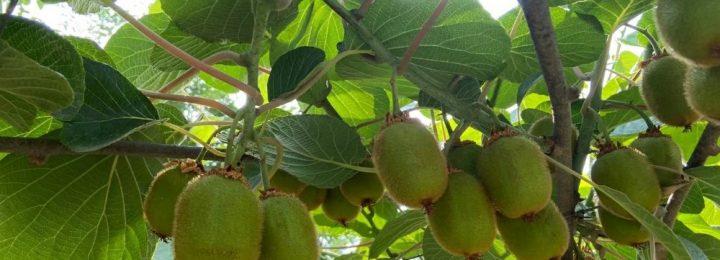 端午节陕西省西安市周至县猕猴桃果园图片,105期
