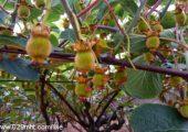 七曲村猕猴桃基地端午节蔬果
