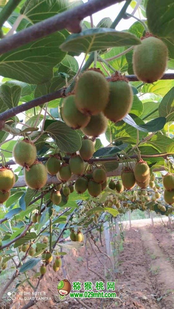 周至猕猴桃家庭农场6月份猕猴桃图片