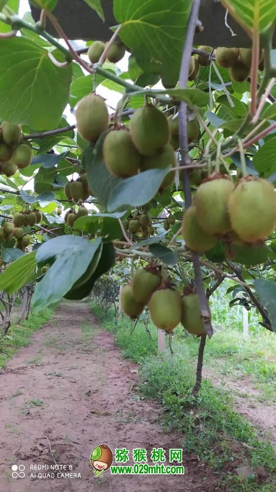 雨后的周至猕猴桃家庭农场绿色淳朴科学,猕猴桃记录107