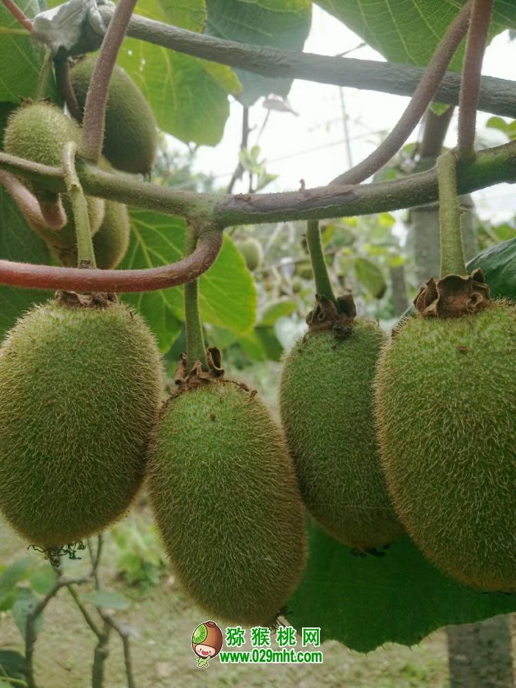 周至猕猴桃翠香猕猴桃生长状态,奇异果画报112期